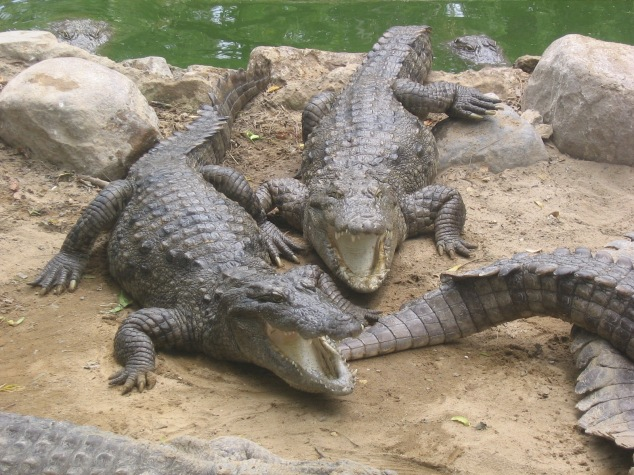 Marsh Crocodiles Bathing In River