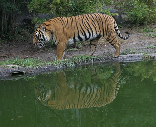 Royal Bengal Tiger At Sundarbans