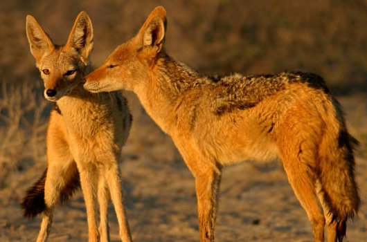 golden-jackal-eravikulam-national-park