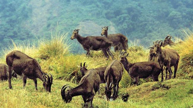 samba-deers-eravikulam_national_park