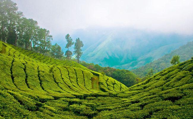 view-of-tea-plantation-Munnar-hill